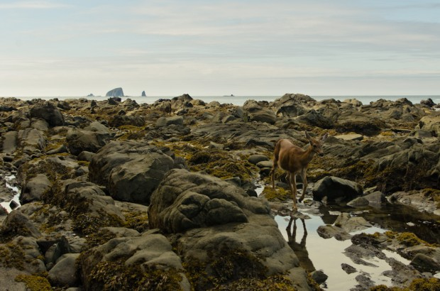 deer in low tide olympic coast